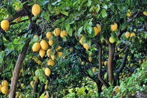 d-limonene essential oil