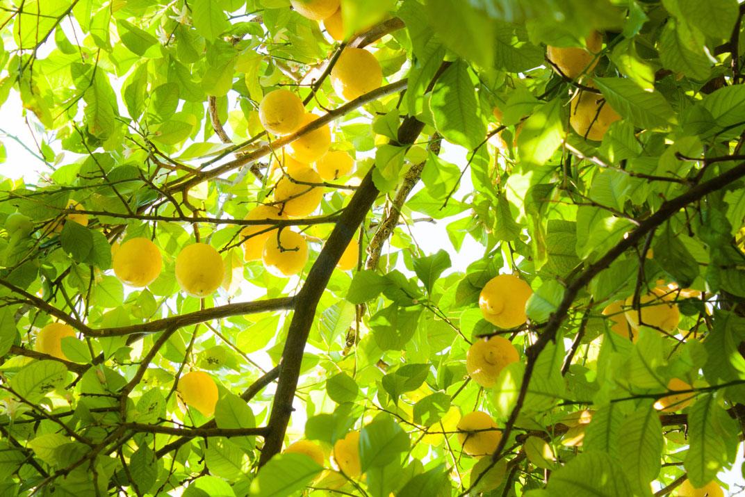 Frozen Lemon Concentrate 500GPL Clear manufacturer