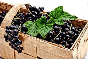 blackcurrant concentrate supplier