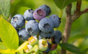 blueberry concentrate supplier