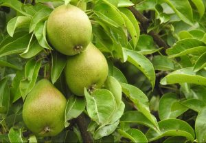 pear concentrate supplier