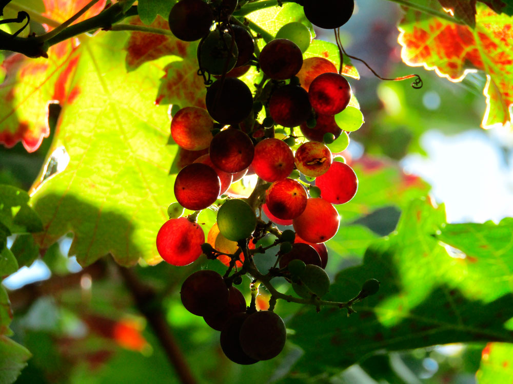 red-grape-pomace-2